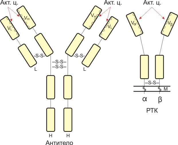 Строение антител схема